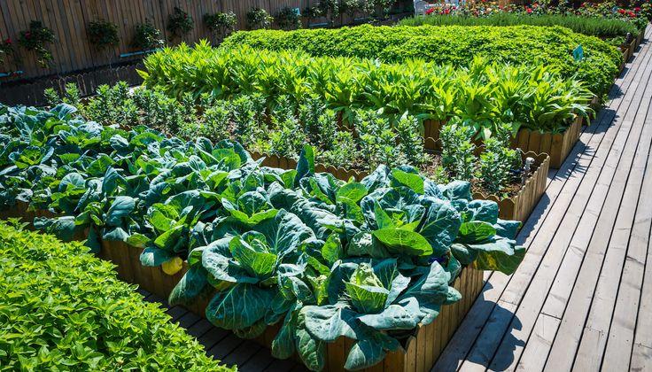Čo s čím sadiť - sadenie a pestovanie zeleniny podľa znášanlivosti